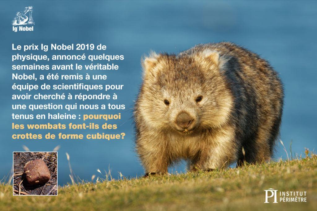 Gros plan d'un wombat marchant sur l'herbe